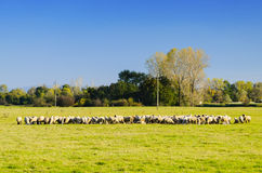绵羊牧群在绿色草甸的 免版税库存图片