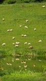 绵羊牧群在水,英国,英国,欧洲中反射了 库存照片