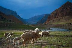 绵羊牧群横渡领域,山河 免版税库存图片