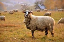 绵羊牧群输入草甸,在前景调查的一只绵羊直接宗旨 免版税图库摄影