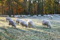绵羊牧群 免版税库存照片
