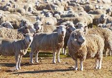 绵羊牧群  库存照片