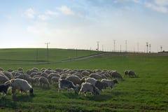 绵羊牧群 库存图片
