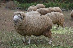 绵羊牧群 免版税图库摄影