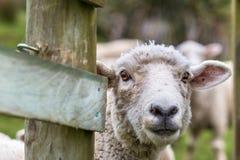 绵羊特写镜头 免版税库存照片