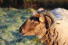 绵羊特写镜头 库存照片