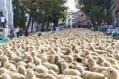 绵羊的假日在马德里 免版税库存照片