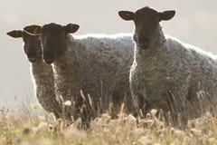 绵羊的帮会在苏克塞斯乡下 免版税库存图片