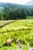 绵羊的绿色牧场地高在山 免版税图库摄影