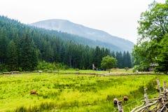 绵羊的绿色牧场地高在山 库存照片