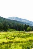 绵羊的绿色牧场地高在山 免版税库存图片