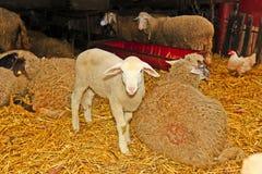 绵羊的 图库摄影