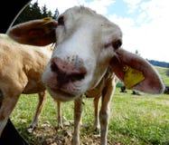 绵羊看 免版税图库摄影