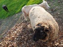 绵羊眼睛 库存图片
