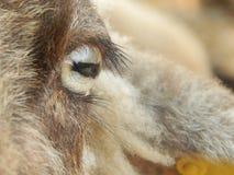 绵羊眼睛 免版税库存照片