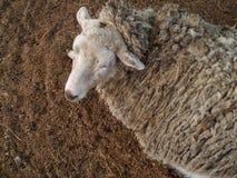 绵羊睡觉在地面上的,动物园 库存照片