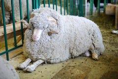 绵羊第14全俄国农业陈列金黄秋天2012 免版税库存照片