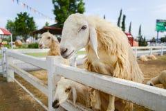 绵羊等待饲养时间 免版税库存图片