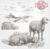 绵羊繁殖的剪影 库存照片