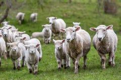 绵羊羊羔 免版税库存照片