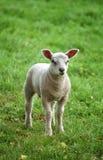 羊羔一点 图库摄影