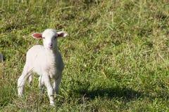 羊羔一点 库存照片