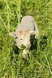 羊羔一点 免版税图库摄影