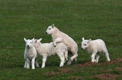 羊羔使用 免版税图库摄影