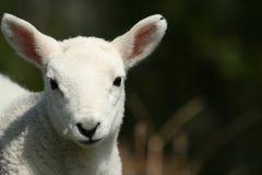 羊羔口鼻部 免版税库存照片