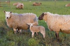 羊羔和两只母羊 免版税库存照片