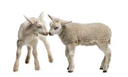 羊羔和山羊孩子(8个星期年纪) 免版税库存图片