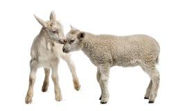 羊羔和山羊孩子(8个星期年纪) 库存图片