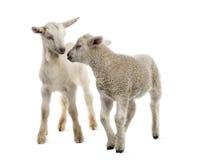 羊羔和山羊孩子(8个星期年纪) 免版税库存照片