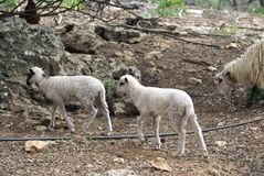 羊羔和母羊在农场 库存照片