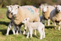 羊羔和母羊 库存照片