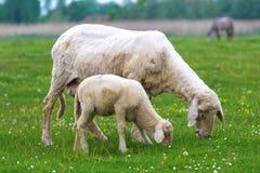 羊羔和绵羊是吃草 免版税库存照片