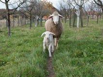 羊羔和绵羊 库存照片
