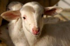 羊羔在一个仓前空地在西班牙 库存照片