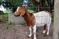 羊羔在农场 库存图片