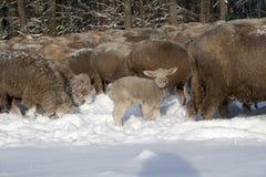 羊羔在冬天 免版税库存图片