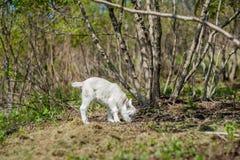 羊羔在森林里吃 免版税图库摄影
