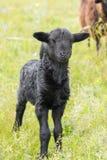 羊羔在草甸 图库摄影