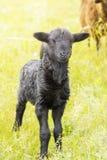 羊羔在草甸 免版税库存照片