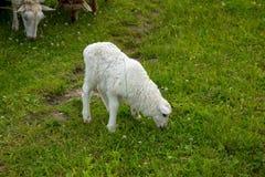 羊羔在领域吃草 免版税库存照片