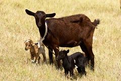 羊羔在贝基亚岛,加勒比 免版税库存照片