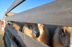 羊羔屠杀 免版税库存照片
