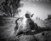 羊羔山羊死的老沙漠的头骨 图库摄影