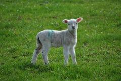 羊羔年轻人 免版税库存图片
