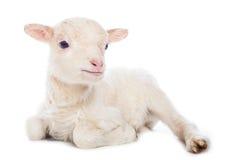 羊羔开会 库存照片