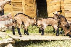 羊羔战斗  免版税库存照片
